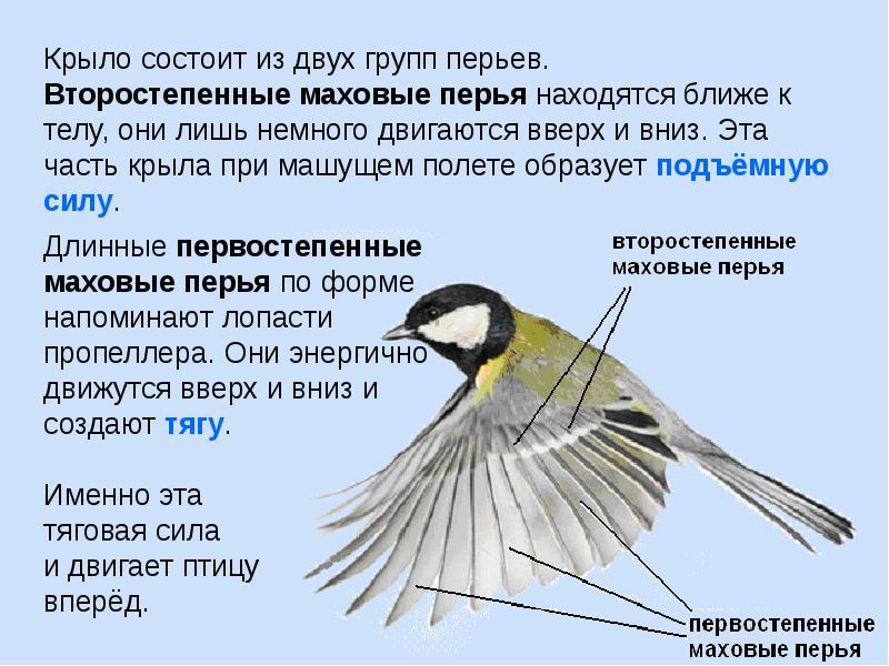 Викторина для детей 5–7 лет «птицы»